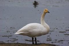 Whooper swan - Cygnus cygnus - Álft
