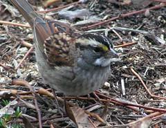 Sparrow me a dollar? (Hot Flashes) Tags: wild white bird nature birds backyard missouri sparrow latin wildbirds throated wildbird zonotrichia albicollis