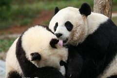 Not in front of my fans mommy (somesai) Tags: animal animals smithsonian panda endangered pandas butterstick animalkingdomelite