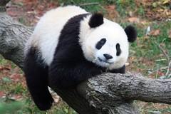 I wuv my twee (somesai) Tags: animal animals smithsonian panda endangered pandas butterstick animalkingdomelite