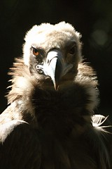 Drama Queen (hvhe1) Tags: bird nature animal wildlife vulture specnature specanimal abigfave hvhe1 hennievanheerden