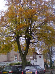 Autumn tree (hugovk) Tags: uk greatbritain november autumn tree leaves manchester leaf colours unitedkingdom britain 2006 gb hvk didsbury limetree lapwinglane westdidsbury bbcmanchesterblog 15112006