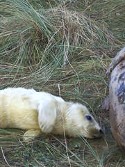 Seals @ Donna Nook (richardk) Tags: lincolnshire seals donnanook