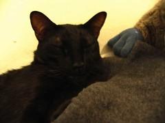 El Handsome 2 ((     )) Tags: black cat sleep spook