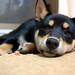 柴犬:DSC_0034.JPG