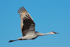 Sandhill Crane Projectile (Fort Photo) Tags: newmexico bird nature birds animal nikon bravo d70 crane wildlife magic birding flight donkey 2006 aves cranes bosque ave birdsinflight nm waterfowl ornithology bosquedelapache avian sandhillcrane bif gruscanadensis wildbird birdphoto outstandingshots 25faves specanimal animalkingdomelite p1f1 bestnaturetnc06 bosquedelapachenationalwildliferefuge