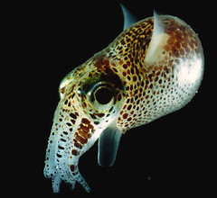 found - bobtail squid