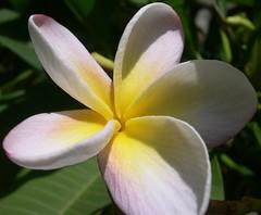 (RoBeRtO!!!) Tags: flowers 15fav white flower macro green nature beautiful yellow closeup ilovenature nikon natura frangipani fiore rdpic specnature pomelia