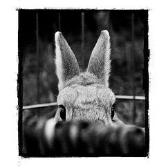 . (parade in the sky) Tags: bw favorite cute rabbit bunny cindy backyard grain center noise filmesque