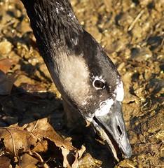 mixed canada goose (JAMES HALLROBINSON) Tags: mixed cross goose hybrid canadagoose nofly canadahybrid domwild domcross