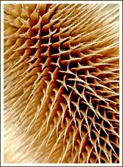 The attraction of thistle (marika_te) Tags: abstract detail macro texture nature flora bravo latvia latvian prickle helluva outstandingshots abigfave p1f1 anawesomeshot impressedbeauty superaplus aplusphoto mmrikate superhearts