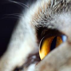 650 (Sau GM) Tags: iris macro eye animal closeup alaska cat hair ojo bravo gato gata felino ambar retina pelos primerplano naturesfinest 500x500 bestofcats salgm impressedbeauty superaplus aplusphoto ltytr2 ltytr1 youvsthebest exhibetusfotos etfmacro aphotocontest30 vosplusbellesphotos macrosamazeme youvsthebestround1pinnaclechallengemacro thepinnaclehof flickhivemind