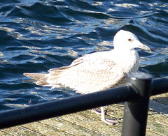 Herring Gull on Canada Water