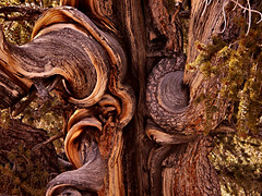 Before Rome, Before Bhudda, Before Jesus Stood This Tree (Pictoscribe) Tags: life california pine ancient grove form oldest inspiring bristlecone methuselah shuman pictoscribe
