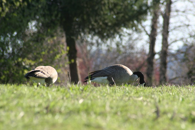 Geese eatin'