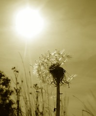 Sunlight On Dandelion (carola's look) Tags: sunlight wow dandelion carola lovephotography fivestarsgallery abigfave outstandingshot