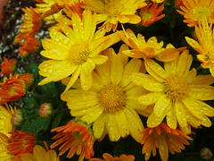 New England Yellow (JAMES HALLROBINSON) Tags: life flowers fall rain yellow garden droplets newengland ct vividcolor p1f1 aplusphoto