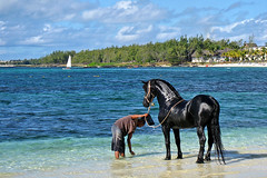 Elegance (PauloSantos) Tags: travel blue sea sky horse beach canon colours interestingness1 500v50f 50100fav cocobeach mauritius viagens 100f 2000v 2000v50f 1500v60f ixus60 seenonexplore 123f50 2000v10f