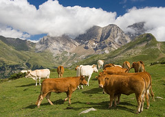 Cows Enjoying the View (Andrew Luyten) Tags: mountain france cow moo getty pyrenees exodus abw gr10 flickrfly
