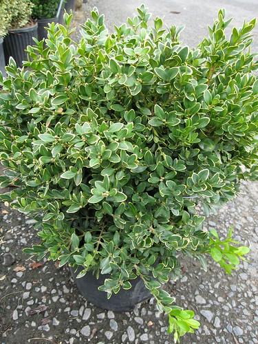 image Buxus microphylla 'Green Velvet'