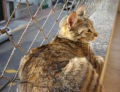 z coruja (sosgatinhos) Tags: love cat furry feline tiger gato felino neko shelter adoption adoo peludo tigrado adote abrigo animalwelfare catlover sosgatinhos