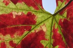 Mosaik (Gakas) Tags: autumn fall wine herbst wein mosaik weinblatt