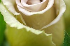 rose fuzi