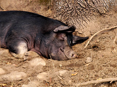 Sleeping Hog (noahg.) Tags: animal watercolor happy pig sleep walk farm content snooze creature hog animalplanet farmanimal snort october14 outstandingshots sanyoc6 specanimal animalpals animalkingdomelite noahbulgaria aksubjectmatternativeanimal
