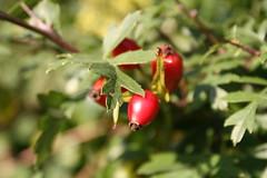 Hawthorn (SArmstrong) Tags: florafauna october2006