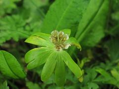 Spring - Winter Aconite in seed (Tyto Alba) Tags: park cambridge fruit spring aconite cherryhinton