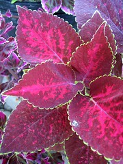 Coleus 'Dappled Apple Baby #1'