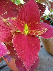Coleus 'Alabama Sunset' (Red Leaves)