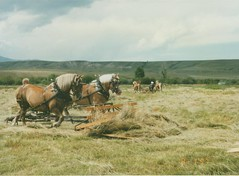 buckraking (banjocat) Tags: montana scanned workhorse haying belgians grko buckrake