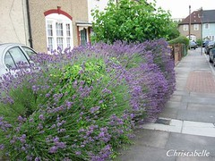 Lavender alongside the lane in London