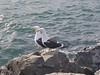 Gulls (sitharus) Tags: sea newzealand raw gulls wellington e300