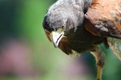 Harris Hawk (Patrick Costello) Tags: bird d50 bravo explore harrishawk magicdonkey hawkconservancy specanimal animalkingdomelite