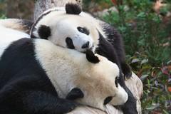 Mommy won't play with me. (somesai) Tags: animal animals smithsonian panda endangered pandas butterstick