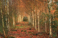 Fall forest in Holland (hvhe1) Tags: trees holland fall home nature netherlands forest berch interestingness37 tonden abigfave