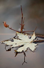 leaf on water (Ari Hahn) Tags: autumn lake fall nature wet water leaves wow d50 leaf pond nj nikond50 tilt instantfave fourseaons waterbwet