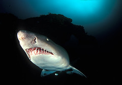 Ragged Tooth Shark (Fiona Ayerst) Tags: landscape southafrica shark teeth bluewater mugshot faceshot kwazulunatal symbiosis unusualangle sandtiger biganimals topphotos ampullaeoflorenzini raggedtooth bestunderwaterphotos portaitofafish smallfishunderneath largeteeth closeupwideangle seaandseaprounderwaterhousing nikonf100camera nikon16mmfisheyelens seaandseastrobes120s shalleybeach proteabanks