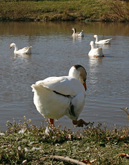 Duck Launch (jason_minahan) Tags: county animals farm nj princeton xti terhuneorchard newjerseymercer