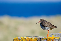 Redshank (Rn) Tags: birds animal yellow iceland bravo dof 2006 aves explore ran commonredshank tringatotanus sland 500v ble flatey fuglar rn 40f specanimal stelkur sumar2006 magnsdttir anawesomeshot rnmagnsdttir ranmagnusdottir ranm