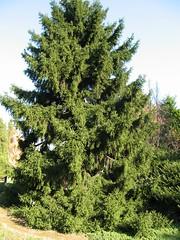 IMG_2571.JPG (dogwood*designer) Tags: evergreen spruce conifer picea plantid orientalis orientalspruce