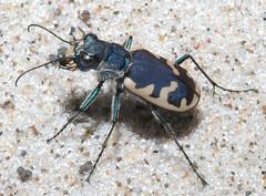 Cicindela formosa formosa (tigerbeatlefreak) Tags: bug insect tiger beetle