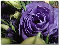 Eustoma grandiflorum - Lisiantus (Azorina) Tags: flower poetry poem purple flor roxa poesia lisianthus poema lisiantus azorina joehowell