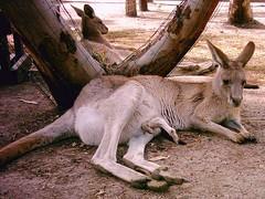 Kanguru (yoel_tw) Tags: zoo kanguru ganguru