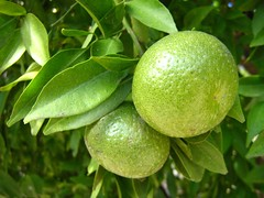 "unripe mandarins • <a style=""font-size:0.8em;"" href=""http://www.flickr.com/photos/70272381@N00/299106168/"" target=""_blank"">View on Flickr</a>"