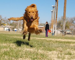 Pounce! (benrobertsabq) Tags: playing newmexico goldenretriever happy lion albuquerque running nm chaco superdog sprinting nuevomexico olympuse500 landofenchantment slobbery