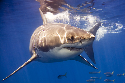Great White Shark Near The Surface off Guadalupe Island, Mexico