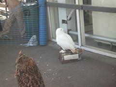 Owls (DizzEeDragon) Tags: bird shopping asda snowy owl unexpected owls